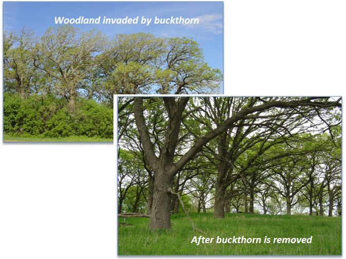 buckthorn before invasive species management